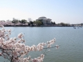 Cherry blossom in Washington, D.C.
