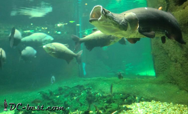 Arapaima. Washington, D.C. Zoo