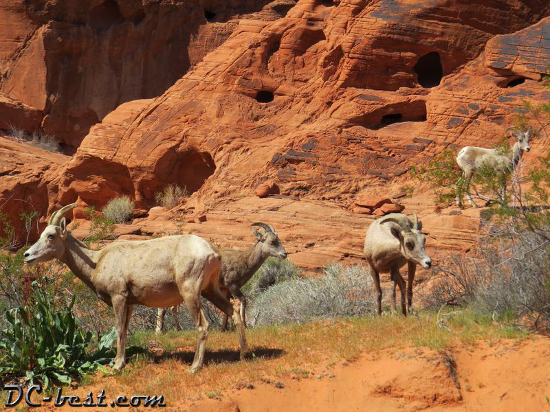 Wild goats in Valley of Fire, NV