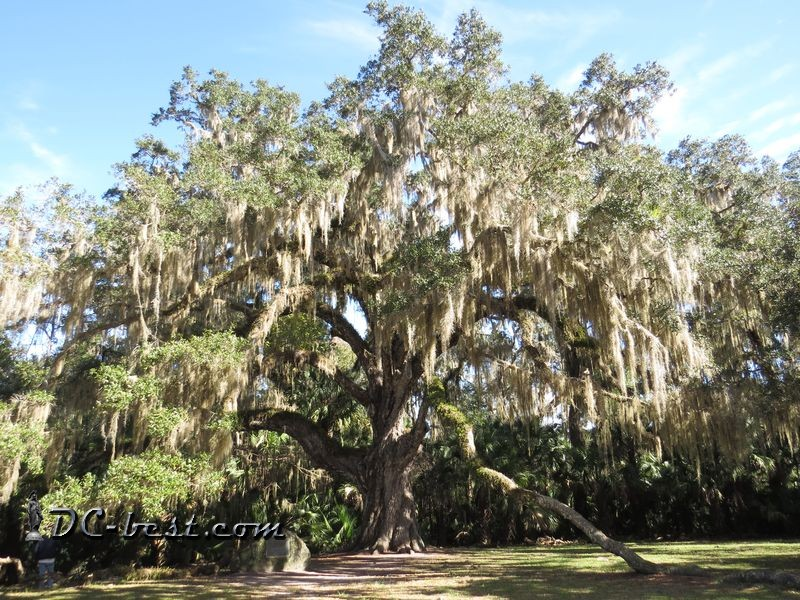 The Fairchild Oak