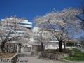 Cherry blossom in Washington, D.C.
