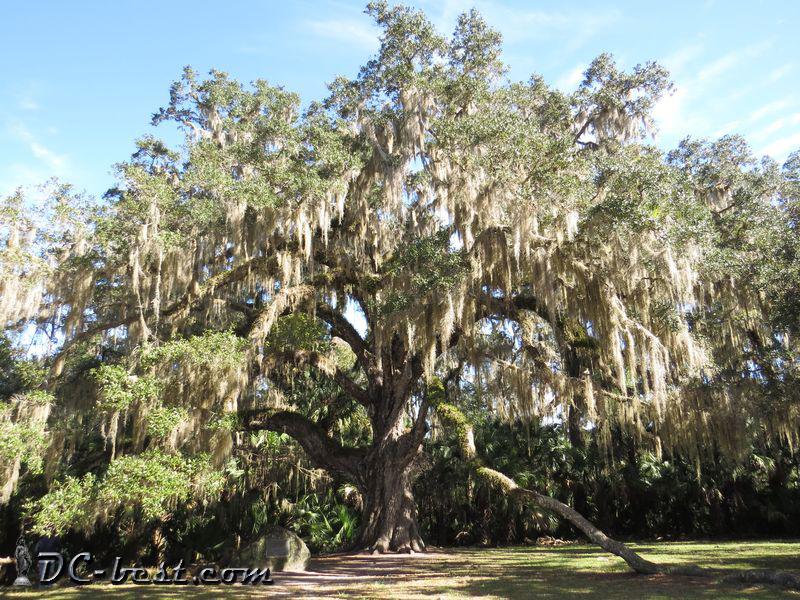 400-летний дуб Fairchild Oak